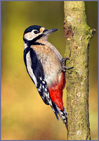 Male Great Spotted Woodpecker (Dendrocopos major), Warwickshire, December 2013