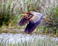 Purple Heron, Mallorca, May 2010