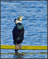 Cormorant, Upton Warren Moors, 10 March 2012
