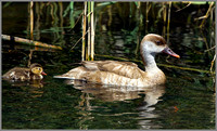 Red-crested Pochard (Netta rufina) with Duckling, Mallorca, May 2104 w2