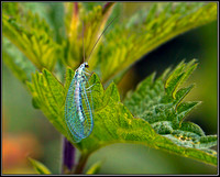 Blue Lacewing (Chrysopa perla), Upton Warren Moors, 25 June 2012