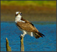 Osprey, Upton Warren NR, 05 September 2012