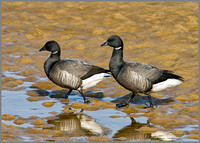 Brent Geese, Norfolk, April 2012