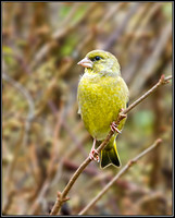 Greenfinch (Chloris chloris), Upton Warren, 27 November 2012