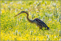 Purple Heron (Ardea purpurea), Mallorca, May 2015