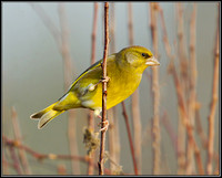 Greenfinch (Chloris chloris), Upton Warren, December 2012