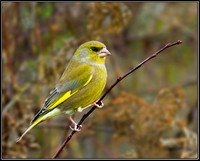 Male Greenfinch (Chloris chloris), Upton Warren, December 2012