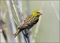 Male European Serin (Serinus serinus), Mallorca, May 2015