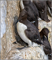 Common Guillemot & Chick (Uria aalge),  Bempton Cliffs, July 2015