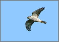 Sparrowhawk (Accipiter nisus), Norfolk, April 2013