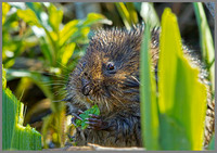 Water Vole (Arvicola terrestris), Norfolk, April 2013