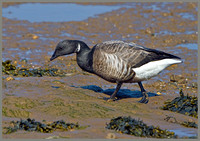 Brent Goose (Branta bernicla), Norfolk, April 2013