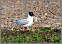 Mediterranean Gull (Larus melanocephalus), Upton Warren 13 May 2013