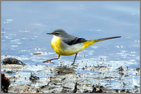 Grey Wagtail (Motacilla cinerea), Upton Warren NR, November 2015