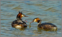Great Crested Grebes (Podiceps cristatus), Upton Warren, 17 May 2013