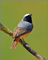 Male Redstart (Phoenicurus phoenicurus), Wales, 22 May 2013