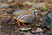 Red-legged Partridge (Alectoris rufa). Warwickshire, December 2015