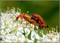 Soldier Beetles (Rhagonycha fulva) mating, Chaddesley Wood NR, July 2014