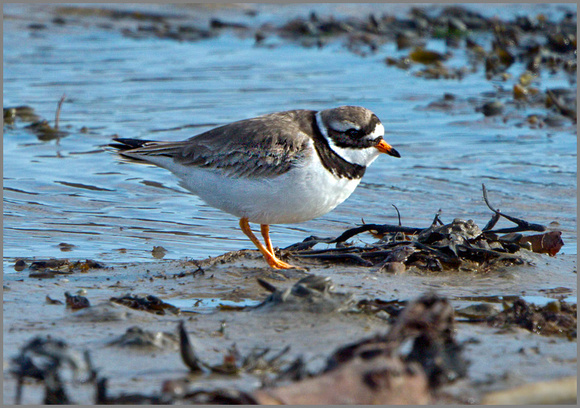 Ringed Plover (Charadrius hiaticula), Anglesey, April 2014