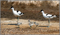 Avocets (Recurvirostra avosetta), Upton Warren NR, June 2016_6198