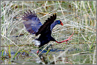 Purple Swamphen (Porphyrio porphyrio), Mallorca, May 2016