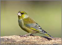 Greenfinch, Bromsgrove, 14 April 2010