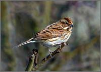 Female Reed Bunting (Emberiza schoenichus), Upton Warren NR, March 2016