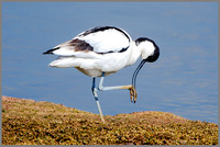 Avocet (Recurvirostra avosetta), Upton Warren NR, April 2016