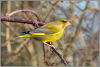 Greenfinch (Chloris chloris), Upton Warren NR, February 2016