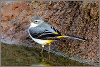 Grey Wagtail (Motacilla cinerea), Upton Warren NR, March 2016
