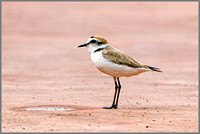 Male Kentish Plover (Charadrius alexandrinus), Mallorca, May 2016
