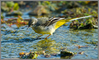Grey Wagtail (Motacilla cinerea), Slimbridge, September 2013