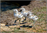 Avocet Chicks (Recurvirostra avosetta),  Upton Warren NR, June 2016