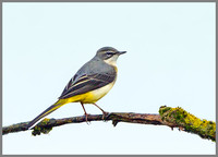 Grey Wagtail (Motacilla cinerea), Upton Warren, October 2014
