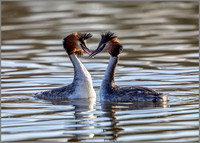 Great Crested Grebes - Podiceps cristatus, Worcestershire, February 2017