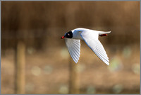 Mediterranean Gull - Larus melanocephalus , Upton Warren NR, March 2017