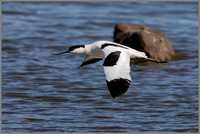 Avocet - Recurvirostra avosetta, Upton Warren NR, March 2017