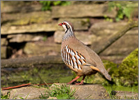 Red-legged Partridge - Alectoris rufa, Warwickshire, March 2017