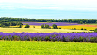 Lavender Fields, Snowshill, July 2017