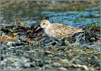 Dunlin (Calidris alpina), Anglesey, April 2014