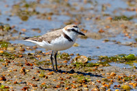Kentish Plover Male - Charadrius alexandrinus, Algarve, Portugal, May 2018