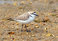 Kentish Plover Male - Charadrius alexandrinus, Algarve, Portugal,May 2018