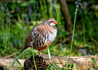 Red-legged Partridge - Alectoris rufa, Warwickshire, May 2018