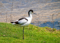 Pied Avocet - Recurvirostra avosetta, Upton Warren Flashes, May 2018