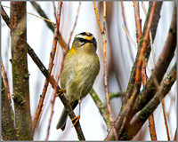 Firecrest (Regulus ignicapilla), Norfolk, September 2014
