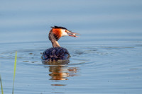 Great Crested Grebe - Podiceps cristatus , Upton Warren, July 2018
