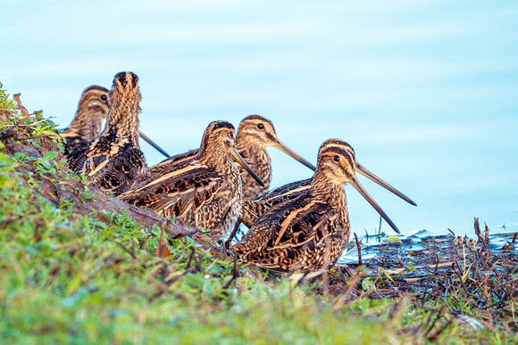 Common Snipe - Gallinago gallinago, Slimbridge WWT, November 2018