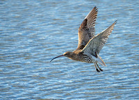 Eurasian Curlew - Numenius arquata, Upton Warren, December 2018