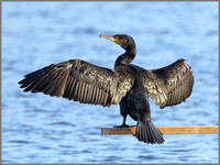 Cormorant (Phalacrocorax carbo), Upton Warren, November 2014