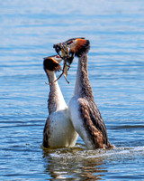Great Crested Grebes - Podiceps cristatus , Upton Warren Moors, March 2019